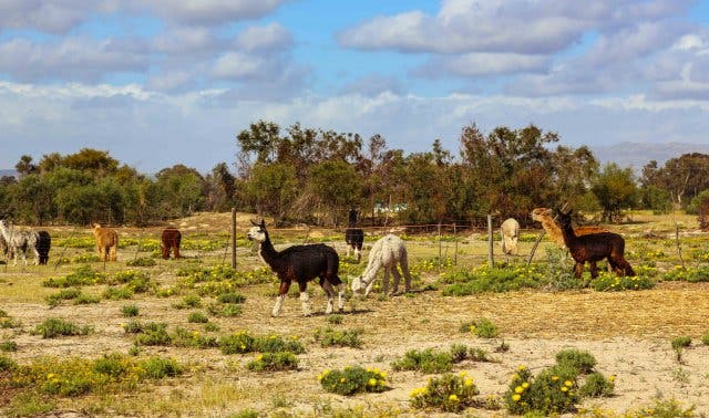Alpaka Tour und filzen auf Alpaka Farm