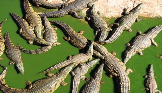Krokodile Kapstadt