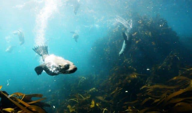 Seal Snorkeling Kapstadt 1