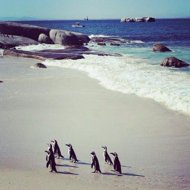 Schwimmen mit Pinguinen in Kapstadt