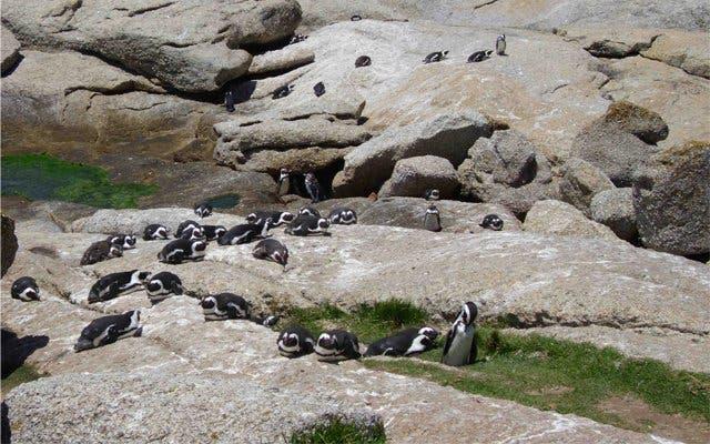 Mit Pinguinen in Kapstadt schwimmen
