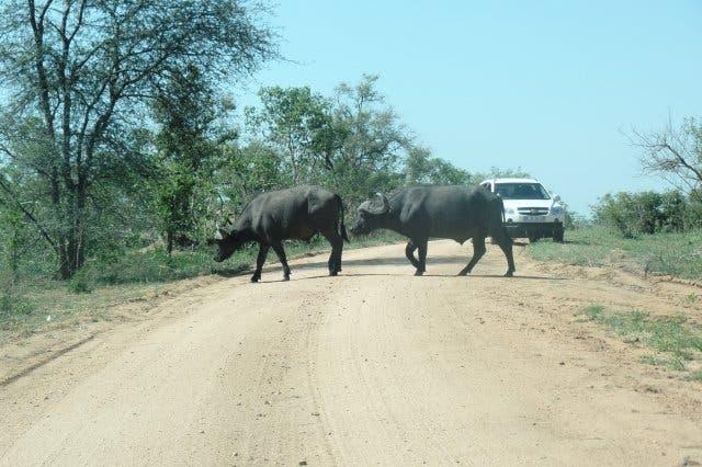 Büffel im Krüger Nationalpark