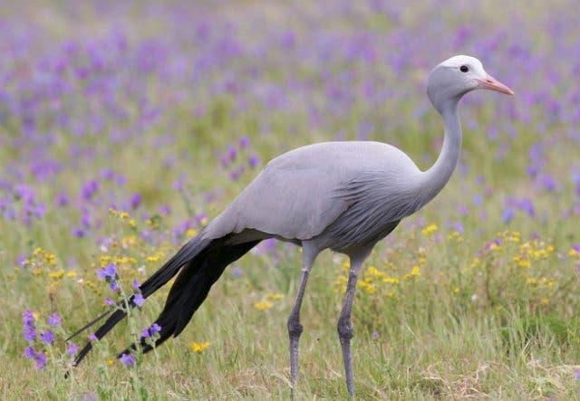 Paradieskranich, Blue Crane, Nationalvogel Südafrika