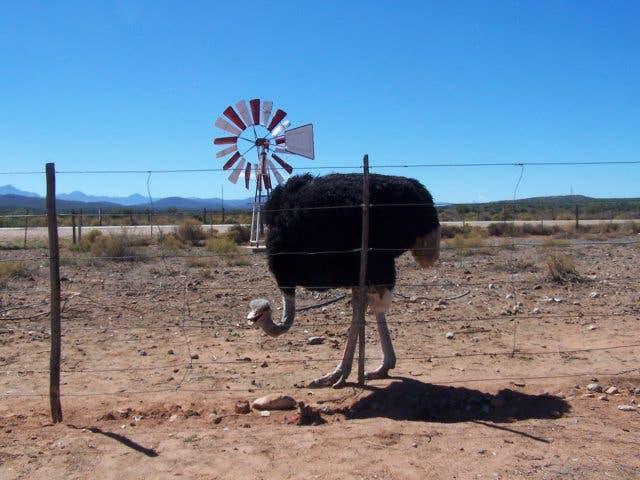 Straussenfarmen Südafrika
