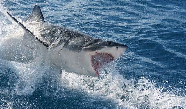 Tauchen mit Weißen Haien Kapstadt