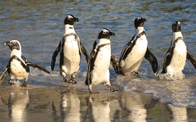 Die Pinguine vom Boulders Beach in Kapstadt