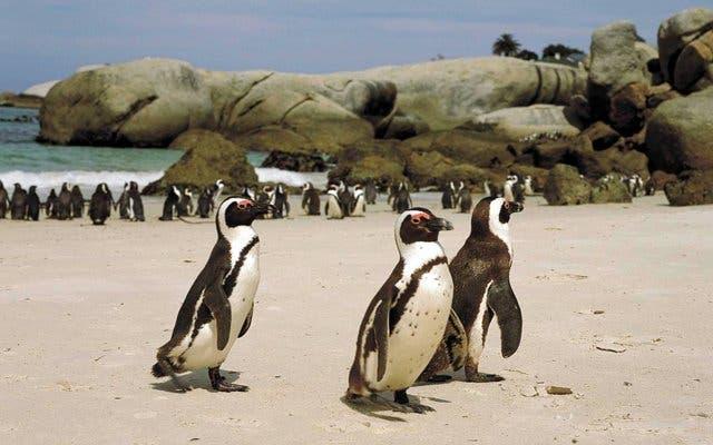 Boulder Beach Pinguine Südafrika