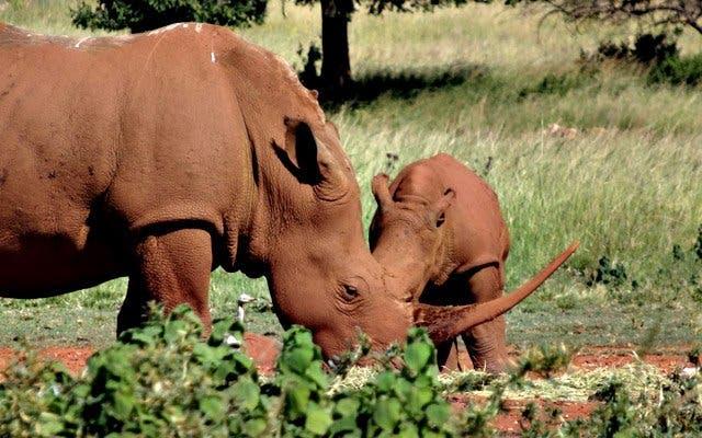 Nashörner Südafrika