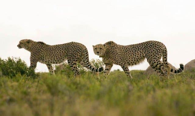 Wildkatzen Südafrika