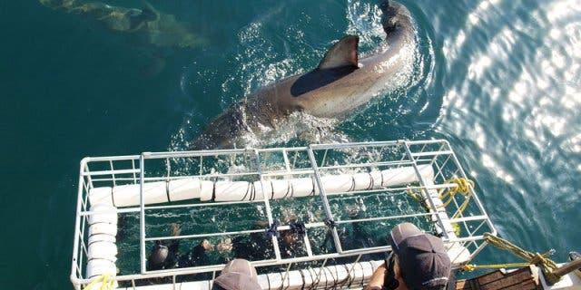 Mit Haien tauchen in Gansbaai