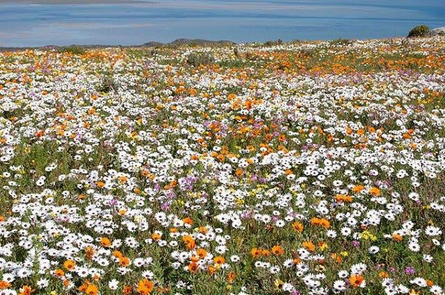 Wildblumen Kapstadt