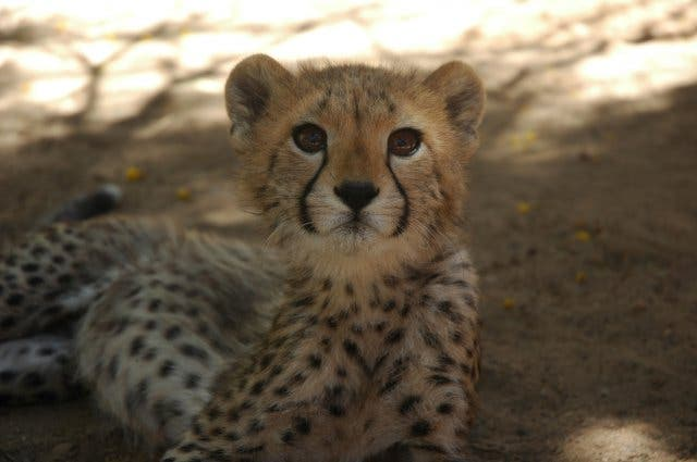 Geparden bei Cheetah Outreach Kapstadt
