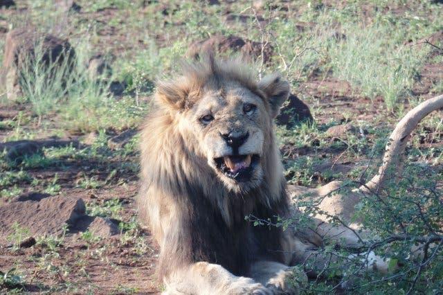 Löwe im Krügr Park