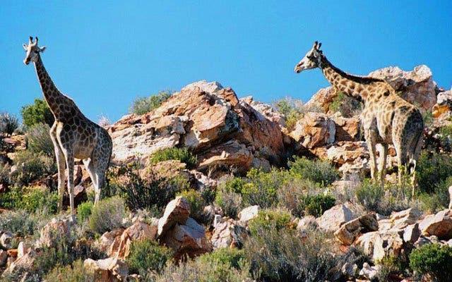 Giraffen Kapstadt