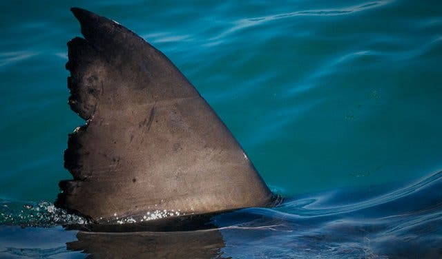 Weißer Hai Kapstadt