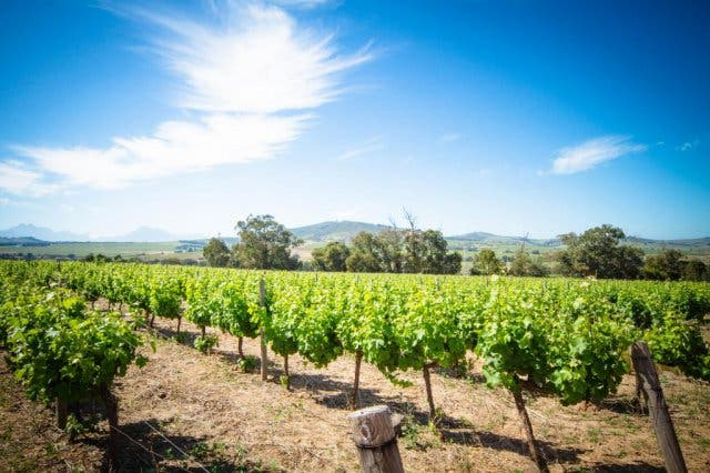 Pinotage Weinanbau Südafrika