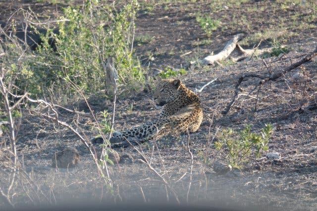 Leopard Krüger Park