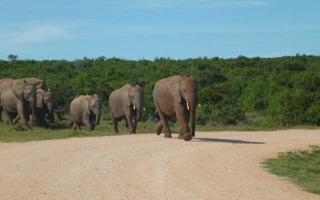 Elefanten auf der Garden Route