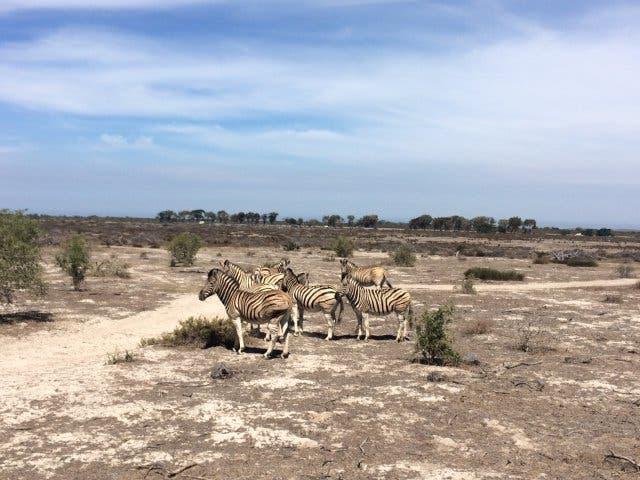 Zebras Westkueste