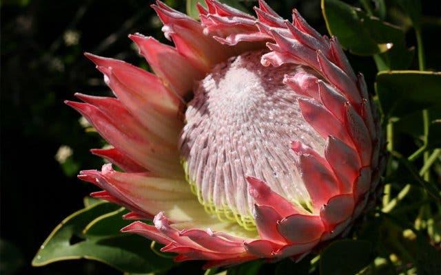 Königsprotea, Nationalblume Südafrika