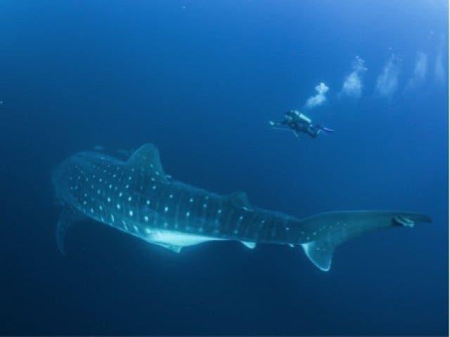 Walhaie in Mosambik