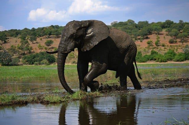 badender Elefant im Krüger Park