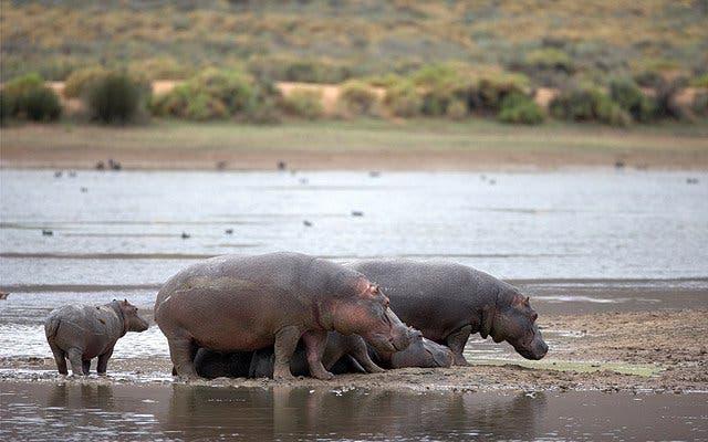 Nilpfferde Kapstadt