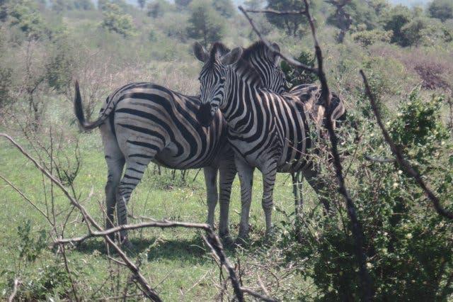 Zebras und Quaggas