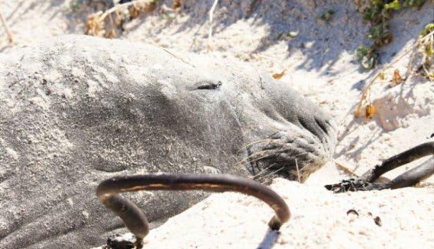 buffel der see-elefant