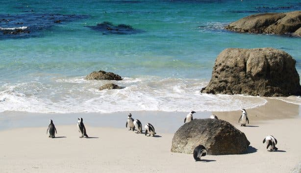 boulders beach penguin